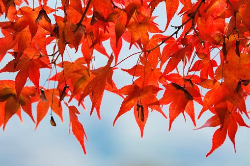 Japanese Maple「Red Japanese maple leaves」:スマホ壁紙(9)