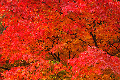 Japanese Maple「Red Japanese maple leaves」:スマホ壁紙(2)