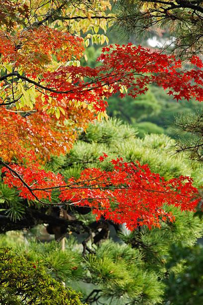 Red Japanese maple leaves:スマホ壁紙(壁紙.com)