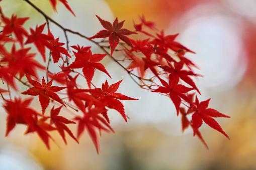 Japanese Maple「Red Japanese maple leaves」:スマホ壁紙(18)