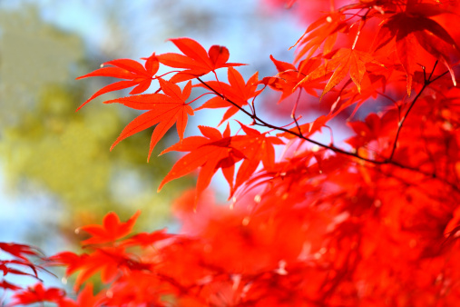 Japanese Maple「Red Japanese Maple Leaves」:スマホ壁紙(6)