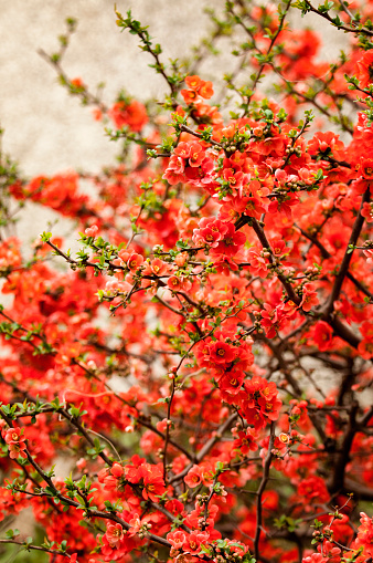 カリン「Red Japanese Decorative Quince Tree in Bloom」:スマホ壁紙(0)