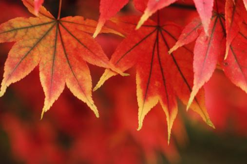 Japanese Maple「Red Japanese maple leaves (Acer palmatum), close-up」:スマホ壁紙(16)