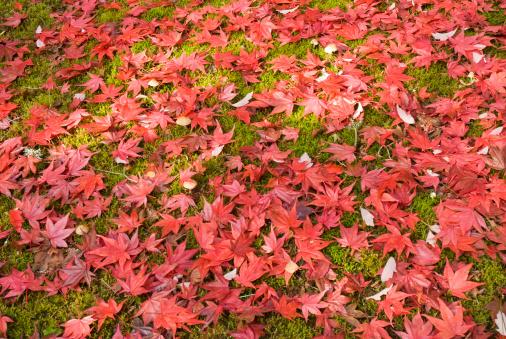 Japanese Maple「Red Japanese maple leaves on moss.」:スマホ壁紙(5)