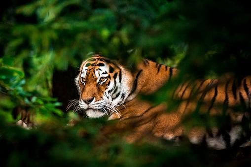 Animal Eye「Tiger in forest」:スマホ壁紙(0)