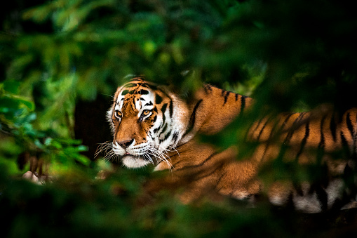 Animals Hunting「Tiger in forest」:スマホ壁紙(16)