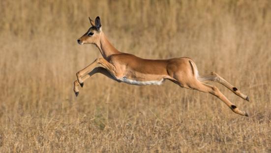 Antelope「Impala jumping in grass」:スマホ壁紙(9)