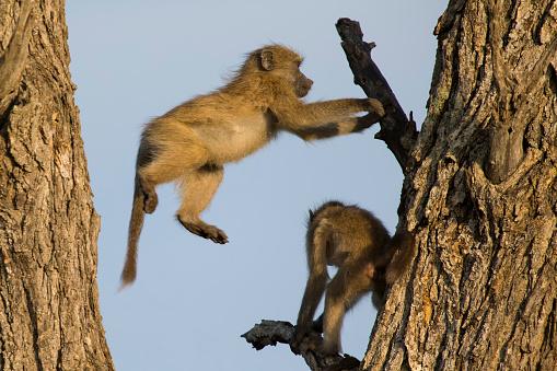 クライミング「Young baboons play and jump in a tree - Kruger National Park, South Africa」:スマホ壁紙(16)