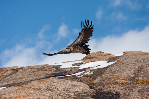 Bird「A Vulture Flies Low Over A Stone Outcropping In Kyrgyzstan」:スマホ壁紙(15)