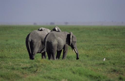 Elephant「Elephants in Africa」:スマホ壁紙(10)