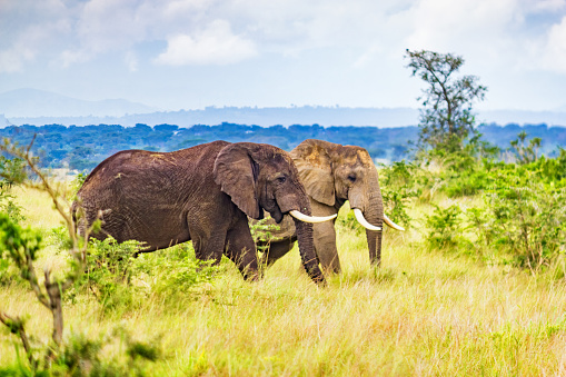 Queen Elizabeth National Park「Elephants in Queen Elizabeth National Park Uganda Africa」:スマホ壁紙(11)