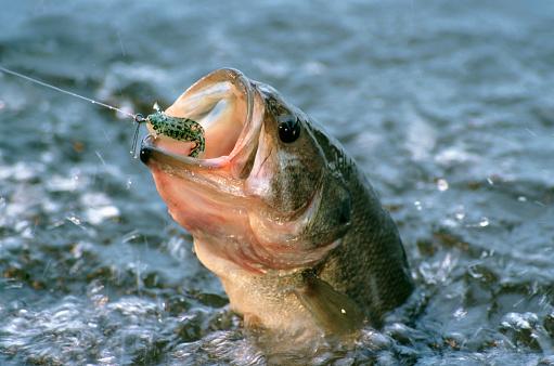 Fishing「Largemouth Bass in water」:スマホ壁紙(17)