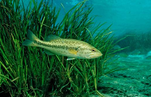 Rainbow「Largemouth bass, Micropterus salmoides, USA, Florida, FL」:スマホ壁紙(19)