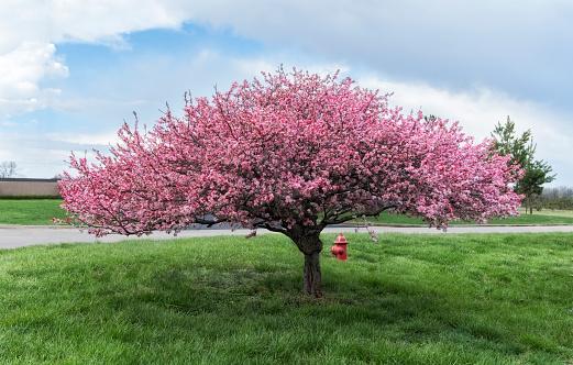 花「Crab apple tree in bloom with pink flowers on green grass」:スマホ壁紙(18)