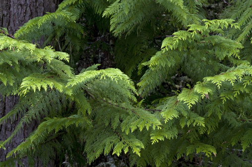 Frond「Western Redcedar, Thuja plicata. Branches look like giant fern fronds. Scalelike foliage. Wood is aromatic and durable. Important timber tree. Glacier National Park, Montana.」:スマホ壁紙(1)