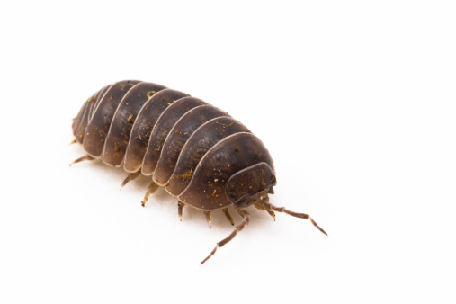 Crawling「Pillbug or Sow bug」:スマホ壁紙(17)