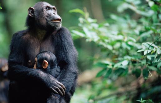 Three Quarter Length「Female eastern chimpanzee (Pan troglodytes schweinfurthii) with young」:スマホ壁紙(7)
