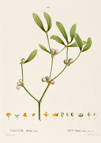 静物「Viscum Album L. (Mistletoe)」:写真・画像(4)[壁紙.com]