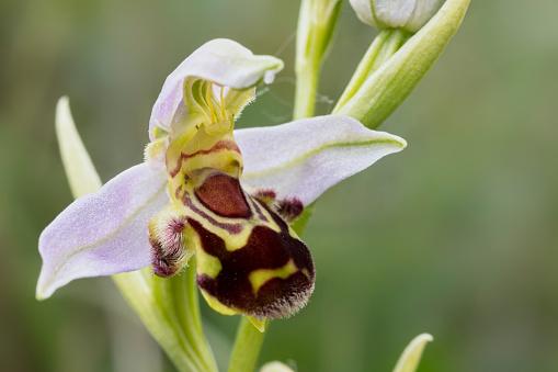 花「Bee Orchid(Ophrys apifera)」:スマホ壁紙(5)