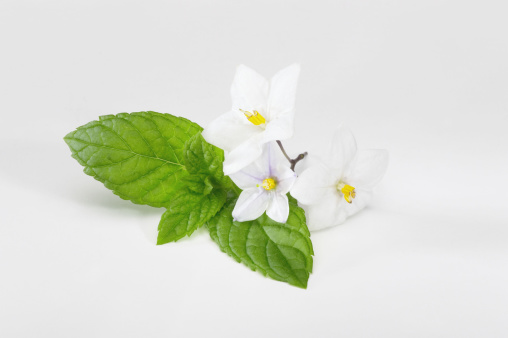 Mint Leaf - Culinary「Mint leaves with blossoms」:スマホ壁紙(15)