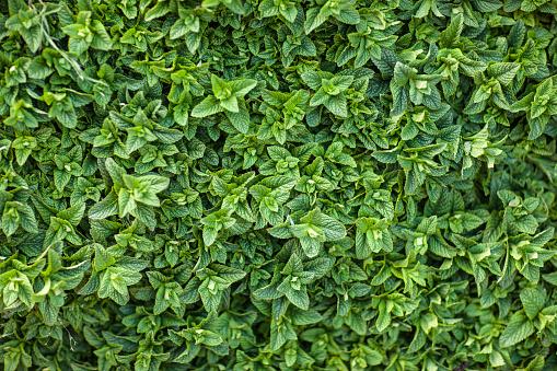 Mint Leaf - Culinary「Mint Leaves Morocco」:スマホ壁紙(17)