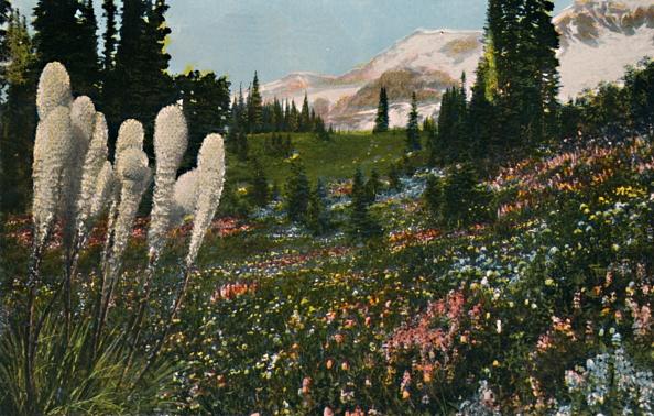 Wildflower「Indian Basket Grass Growing In Mount Rainier National Park」:写真・画像(6)[壁紙.com]