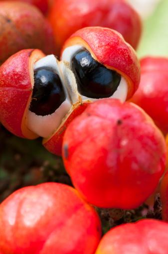 Amazon Rainforest「Guarana fruit resembling eyeballs」:スマホ壁紙(9)