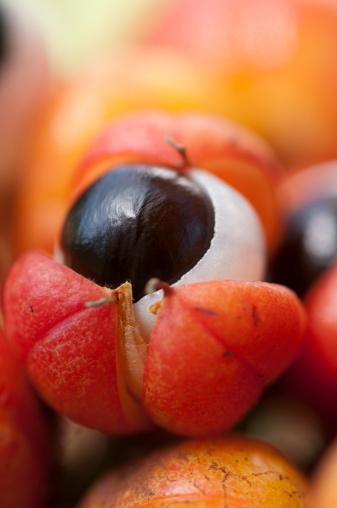 Amazon Rainforest「Guarana fruit」:スマホ壁紙(6)