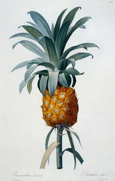 Engraving「Bromelia Ananas」:写真・画像(1)[壁紙.com]