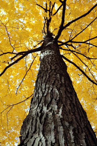 サトウカエデ「黄色の Sugar Maple ツリー」:スマホ壁紙(13)