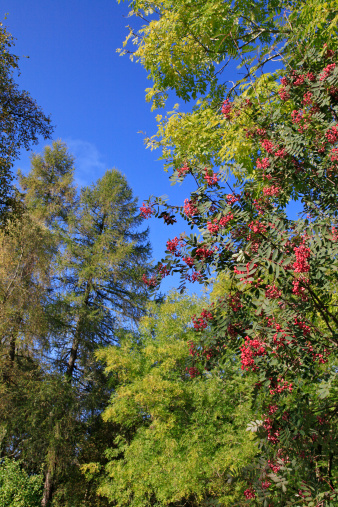 Rowanberry「Late summer woodland trees. Scotland, UK」:スマホ壁紙(13)