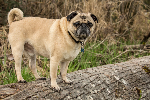 Redmond - Washington State「Pug (Canis Familiaris) standing on fallen tree in Marymoor Park, Redmond, Washington State, USA」:スマホ壁紙(1)
