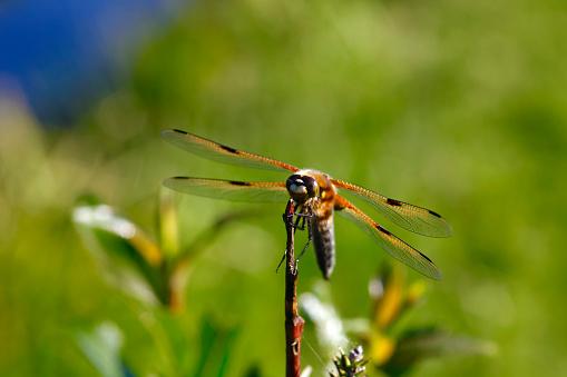 とんぼ「Dragonfly at twig」:スマホ壁紙(19)