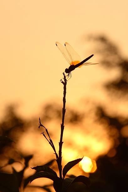 Dragonfly at Sunset:スマホ壁紙(壁紙.com)