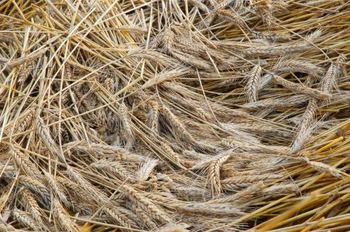 殻「Gold wheat」:スマホ壁紙(7)