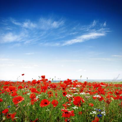 花畑「Poppies の明るく晴れた日」:スマホ壁紙(5)