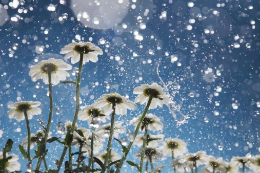Summer「Daisies in the rain happy accident」:スマホ壁紙(18)