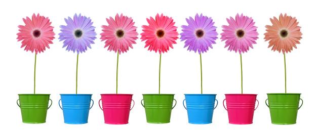 Gerbera Daisy「Daisies in colorful pots XL」:スマホ壁紙(13)