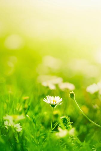 花畑「Daisies のフィールド」:スマホ壁紙(3)