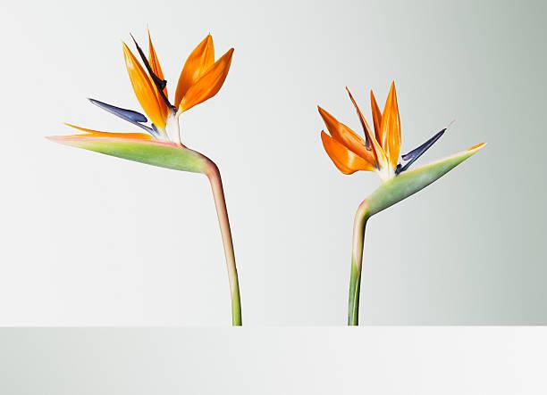 Two bird of paradise flowers turning away:スマホ壁紙(壁紙.com)