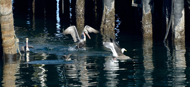 City of Monterey - California「Monterey, pelicans and other sea birds under the piers.」:スマホ壁紙(10)