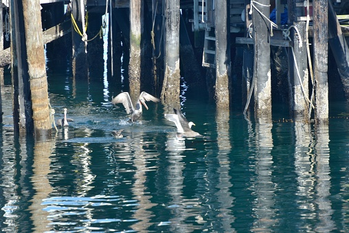 City of Monterey - California「Monterey, pelicans and other sea birds under the piers.」:スマホ壁紙(18)