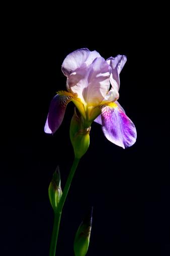 Iris - Eye「Iris in Garden」:スマホ壁紙(14)