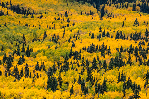 Uncompahgre National Forest「Massive mountain slope of dense aspen trees (Populus Tremuloides) and evergreens in fall color, Sneffels Range, Sneffels Wilderness Area, Uncompahgre National Forest, Colorado, USA」:スマホ壁紙(2)