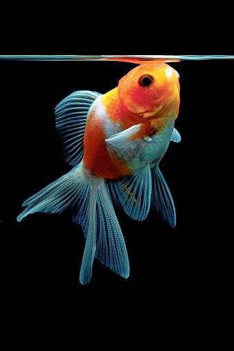 Goldfish「Goldfish gulping air in a fishbowl」:スマホ壁紙(16)