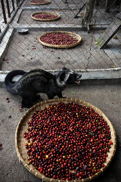 Basket「Production Of The World's Most Expensive Coffee Thrives In Indonesia」:写真・画像(9)[壁紙.com]