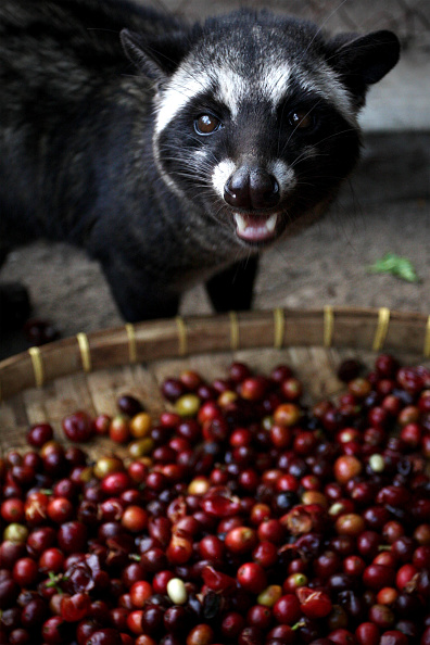 Basket「Production Of The World's Most Expensive Coffee Thrives In Indonesia」:写真・画像(10)[壁紙.com]