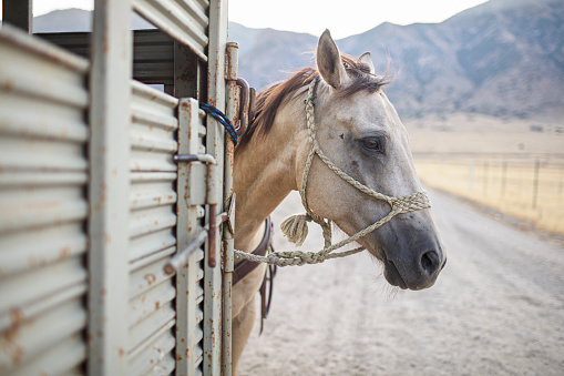 Recreational Horseback Riding「Saddled Horse Waiting by a Trailer in Utah, USA」:スマホ壁紙(6)