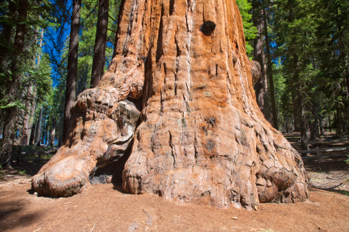 Grove「The General Grant Tree (Sequoiadendron giganteum) known as the Nation's Christmas Tree, the third largest tree in the world in Grant Grove, Kings Canyon National Park in East Central California, Sierra Nevada, California, United States of America」:スマホ壁紙(19)