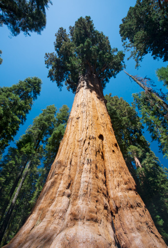 Grove「The General Sherman Tree, the largest tree in the world in Sequoia National Park in East Central California, Sierra Nevada, California, United States of America」:スマホ壁紙(14)